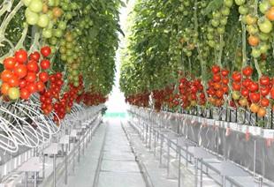 1013トマト温室.jpg